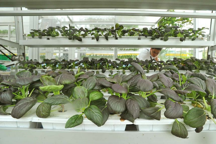Purple Cai Xin in the Vertical Farm at APSN Centre for Adults on July 8, 2016.
