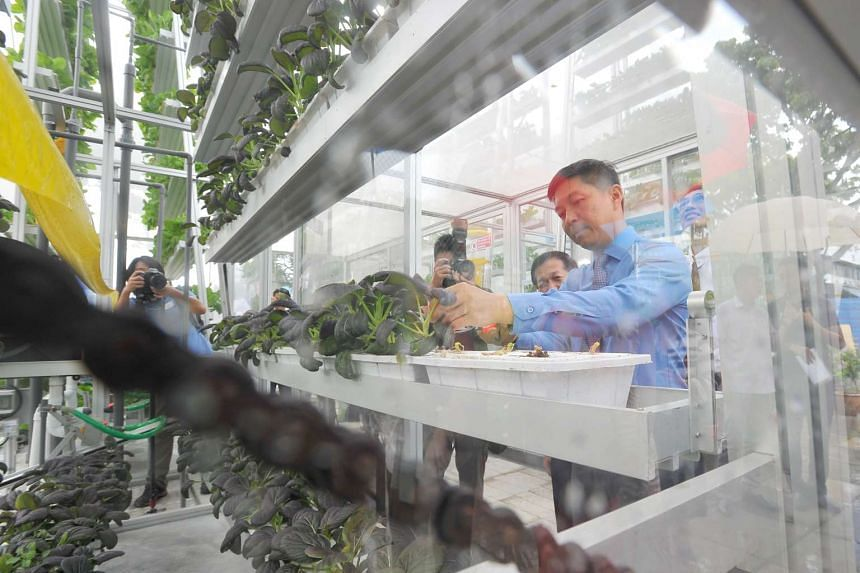 Minister Tan Chuan-Jin harvesting the purple cai xin in the Vertical Farm at APSN Centre for Adults on July 8, 2016.