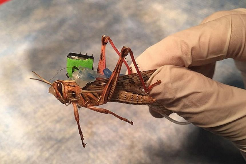 A locust with sensors implanted in its brain. These can decode changes in neural activity as the insect is exposed to different odours. The sensors are connected to a transmitter that sends signals to a receiver that is attached to an LED. If there a
