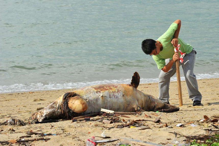 The carcass of an Indo-Pacific humpbacked dolphin, also known as the pink dolphin, found on the beach at East Coast Park on July 6, 2016.