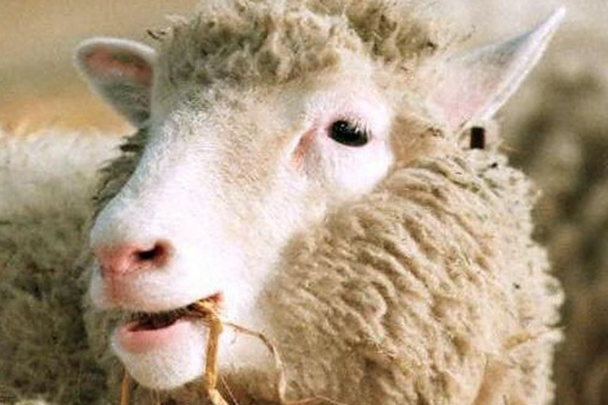 Dolly was the first mammal cloned using a technique called somatic cell nuclear transfer. Many hailed mankind's mastery over DNA as a harbinger of medical miracles when the sheep was born 20 years ago.