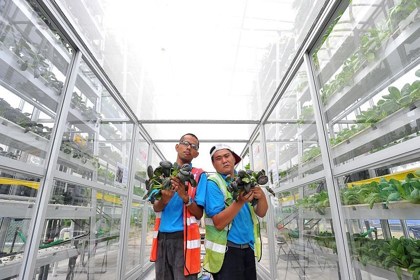 Mr Tan Guo Xiong (left), 30, and Mr Saw with purple cai xin harvested from the vertical farm at the APSN Centre for Adults yesterday. The new centre helps to prepare people with special needs for employment.