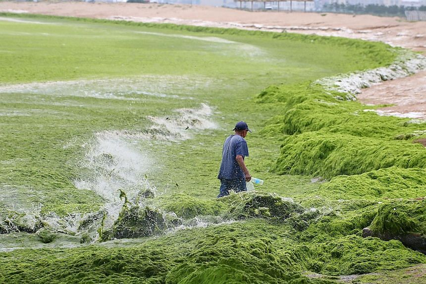 A sea of algae covering Haiyang Beach in Shandong province, China. A huge amount of algae has accumulated along the coast in Haiyang city because of the recent storms and changing tides. Many government departments are actively working to clear the a