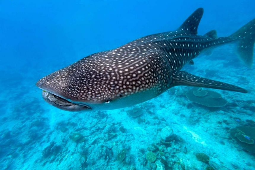 Above: The whale shark, which grows to more than 12m long, is often caught by accident by tuna fishermen.