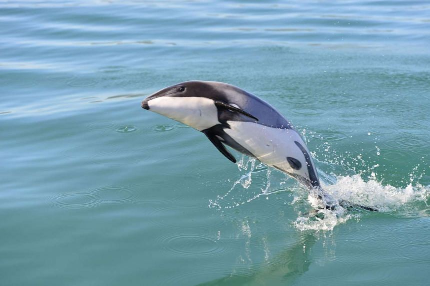 This undated handout photo released on July 11 by the Otago University and NZ Whale and Dolphin Trust shows a critically endangered Maui's dolphin swimming off the west coast of New Zealand's North Island.