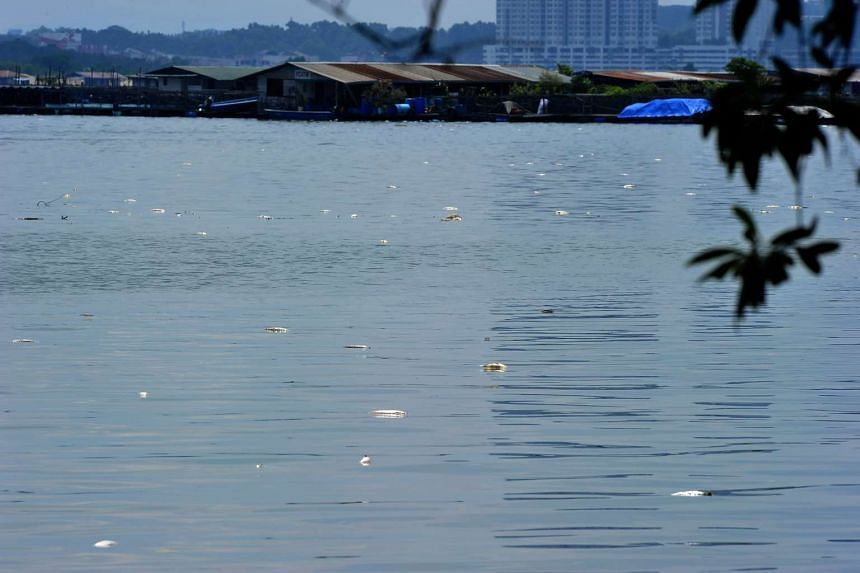 Dead fish floating on the water at Lim Chu Kang jetty on July 18, 2016.