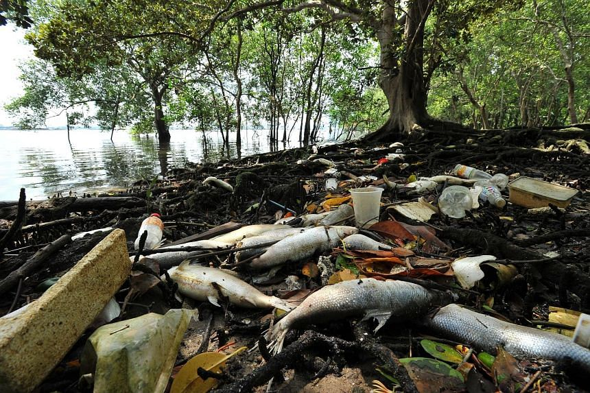 Large numbers of dead fish were found near Lim Chu Kang jetty yesterday morning, washed up on the shore or afloat at sea. There are about 50 fish farms along this stretch of water on the West Johor Strait. The fish farmers have ruled out a plankton b