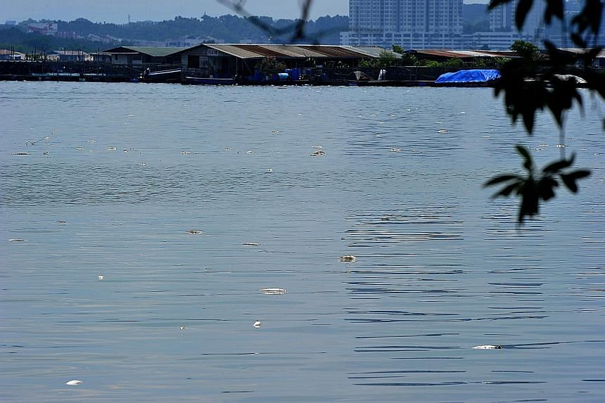 Dead fish floating on the water near Lim Chu Kang jetty yesterday. Fish farmers blamed the deaths on low levels of dissolved oxygen in the waters of the West Johor Strait, along which about 50 fish farms are located.