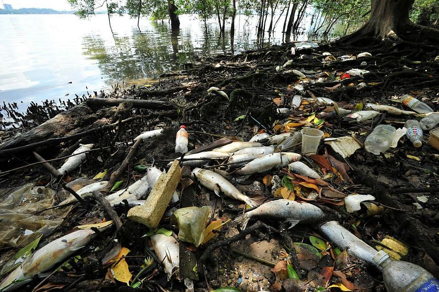 Dead fishes along coastline at Lim Chu Kang jetty on July 18.