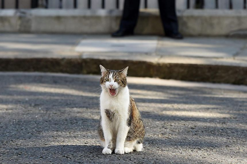Larry the Downing Street cat yawning in the street, ahead of a Cabinet meeting at number 10 Downing Street in London, on July 19, 2016.