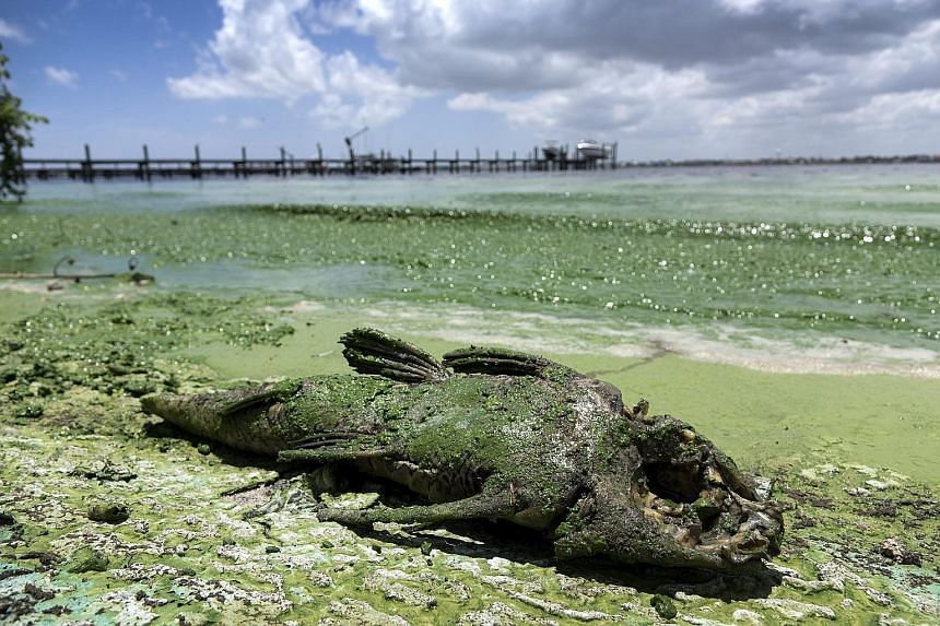 A dead slime-covered fish lying on a Florida beach on July 7. The south-eastern US state has been hit by algal blooms, leading to the shutting down of businesses and beaches during a critical tourism season.
