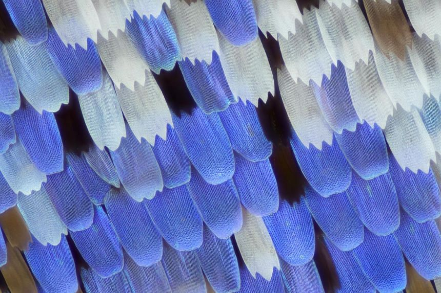 Butterfly wings under the microscope show how different angles of incidence of light produce different colours. This is what gives the wings their ethereal iridescence. The image is by artist Linden Gledhill, who explores the physical world at differ