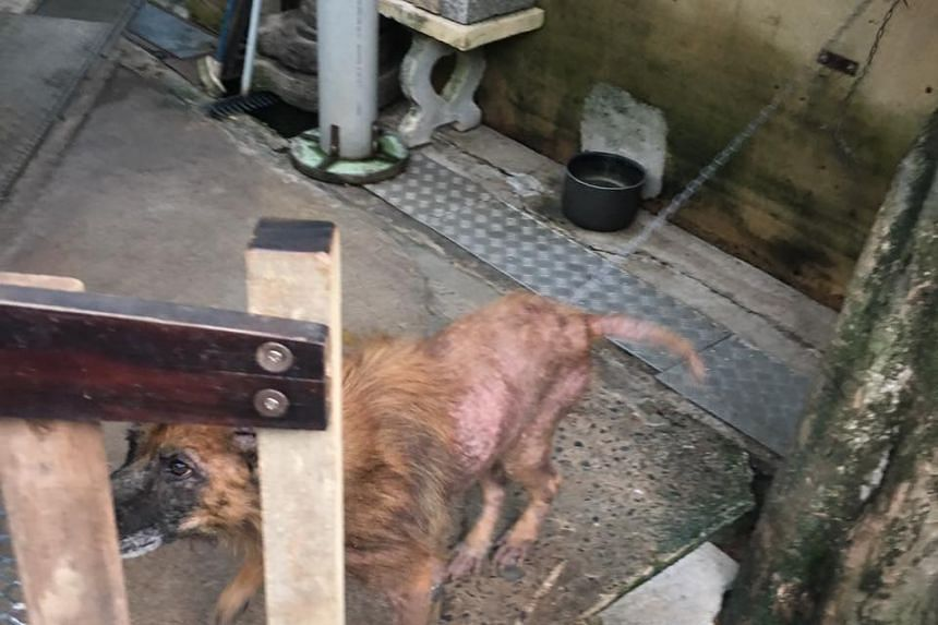 The Agri-Food & Veterinary Authority is looking into the condition of a dog chained outside a house.