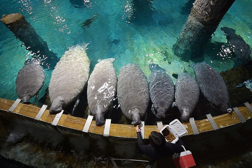 Two of the River Safari's 14 manatees will be sent to Guadeloupe as part of the world's first manatee repopulation programme. The National Park of Guadeloupe aims to reintroduce the Antillean manatee, which has been extinct in the Caribbean island re