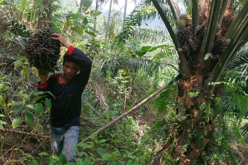 A plantation worker harvests fruit from oil palm trees at Suka Dame village in Deliserdang, in Indonesia's North Sumatra province.