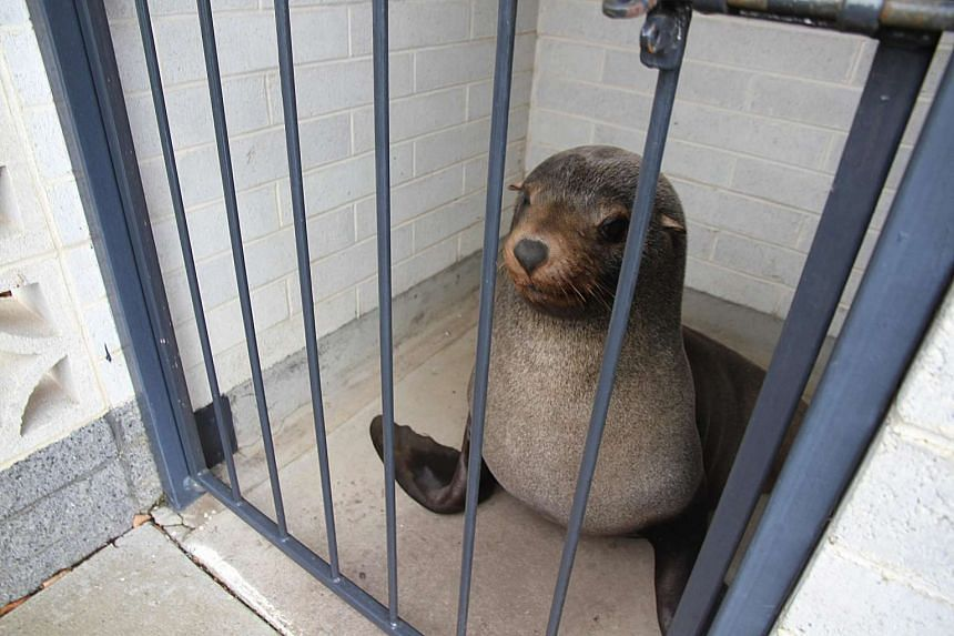 A 120kg fur seal named Sammy, in a cage after he had been found napping in the toilets at a local cemetery in Devonport, Tasmania.