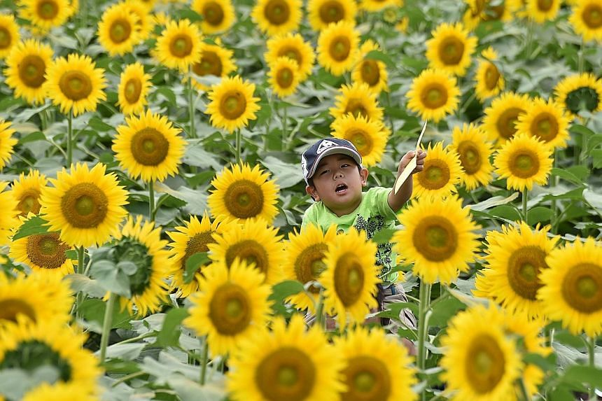 A boy on his father's shoulders getting a good view as they make their way through a field of sunflowers in the town of Nogi, 70km north of Tokyo.