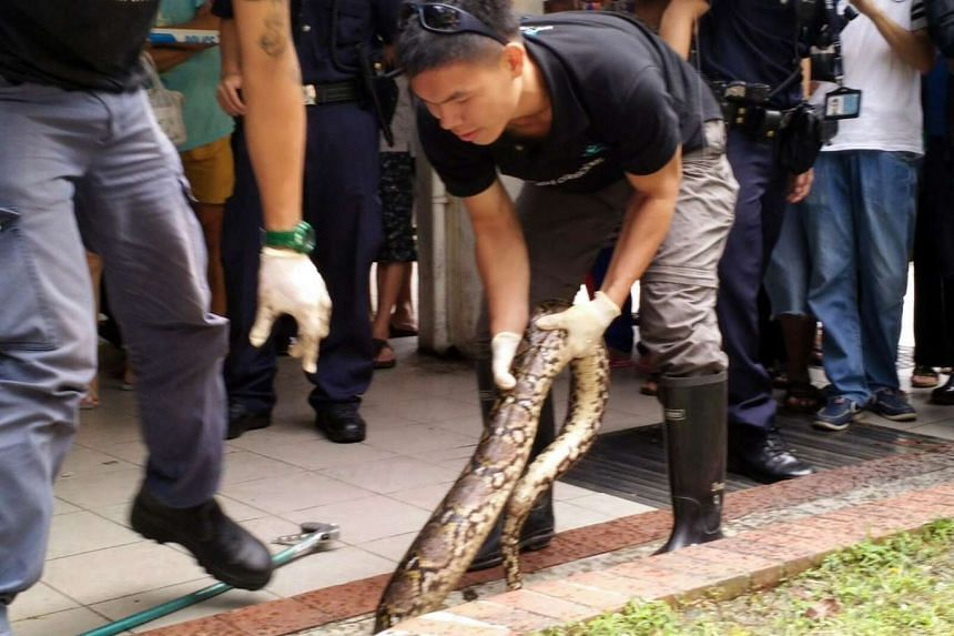 Animal rescuers taking away a python found near a coffee shop on Ang Mo Kio Avenue 4 on July 26, 2016.