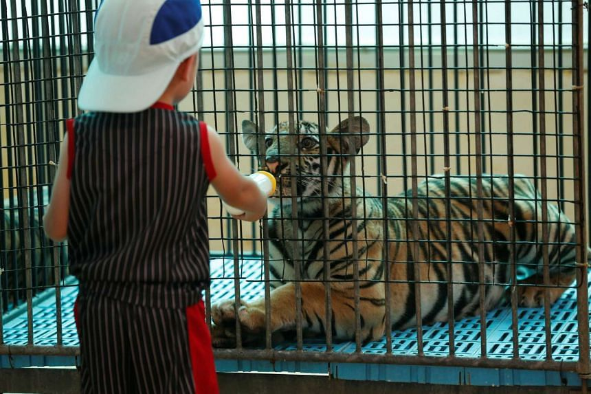 A boy feeds milk to a tiger cub at the Sriracha Tiger Zoo in the Chonburi province, Thailand on June 7, 2016.