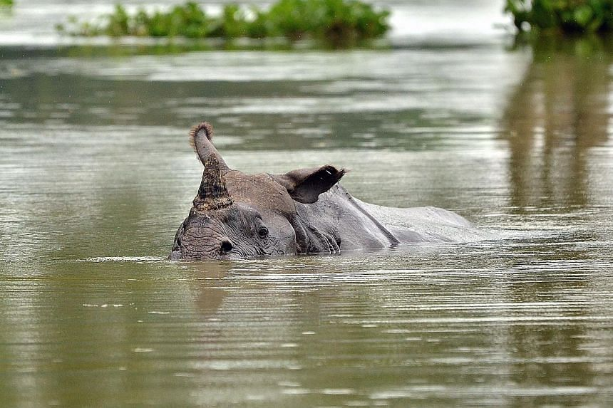 A rhino swimming in flood waters in Kaziranga National Park on Wednesday. Animals are migrating in large herds to the hills.