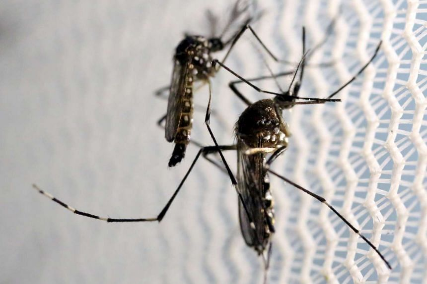 Aedes aegypti mosquitoes are seen inside an Oxitec laboratory in Campinas, Brazil, Feb 2, 2016.