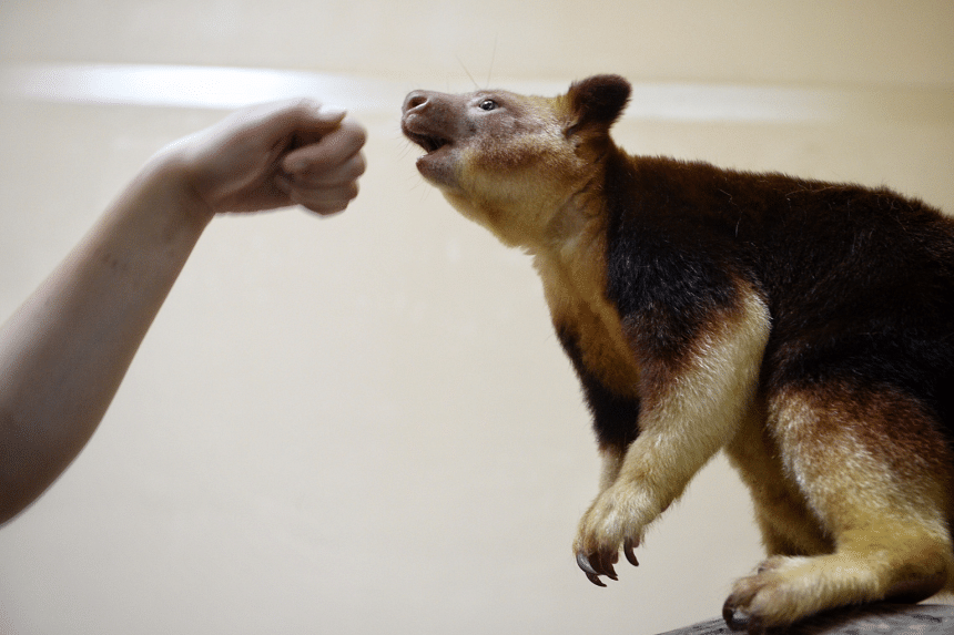 Tree Kangaroo Makaia pictured at the Singapore Zoo during a media preview on August 3, 2016.