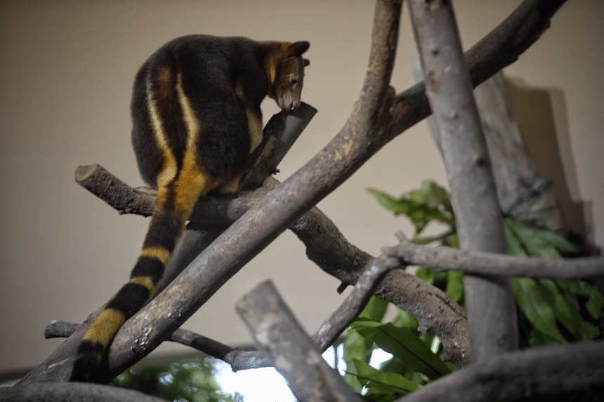 Tree Kangaroo Nupela photographed at the Singapore Zoo during a media preview on Aug 3, 2016.