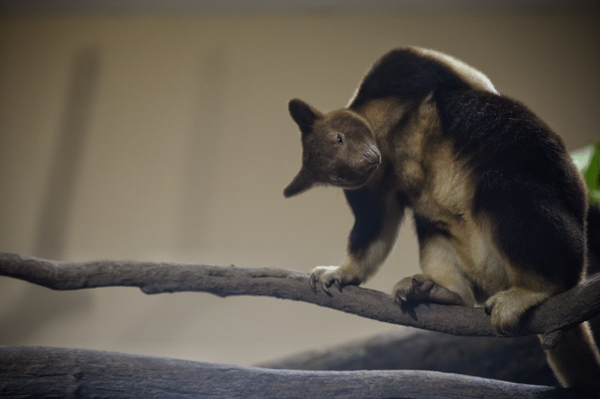 Tree Kangaroo Nupela pictured at the Singapore Zoo during a media preview on Aug 3, 2016.