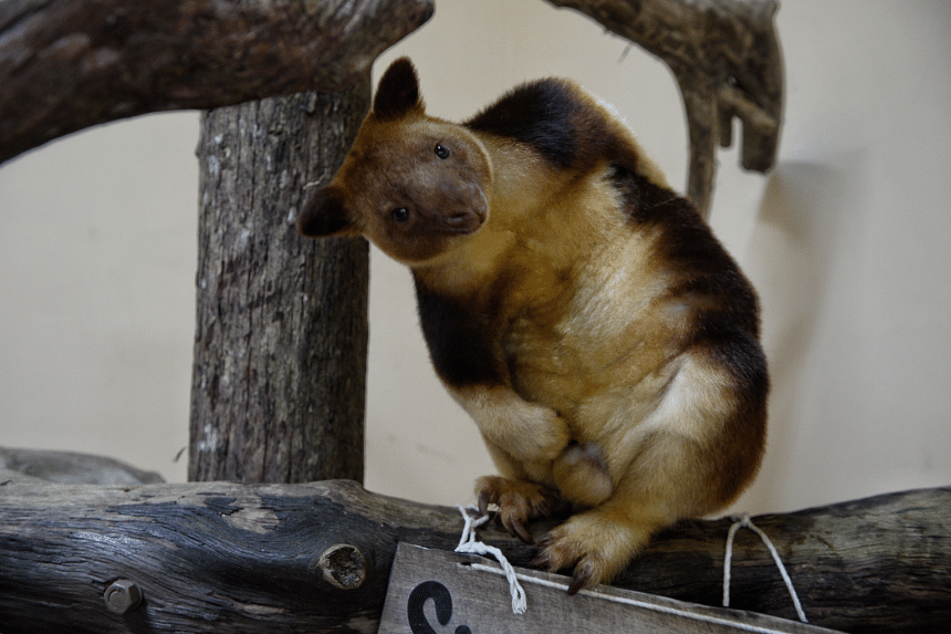 Tree Kangaroo Makaia at the Singapore Zoo during a media preview on Aug 3, 2016.