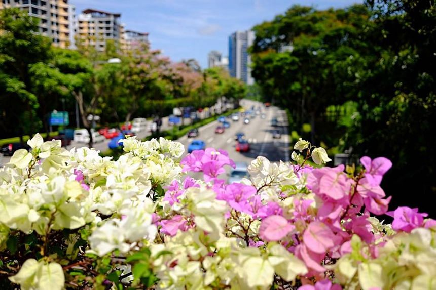 Flowers seen along CTE near the Moulmein Road exit in Singapore.