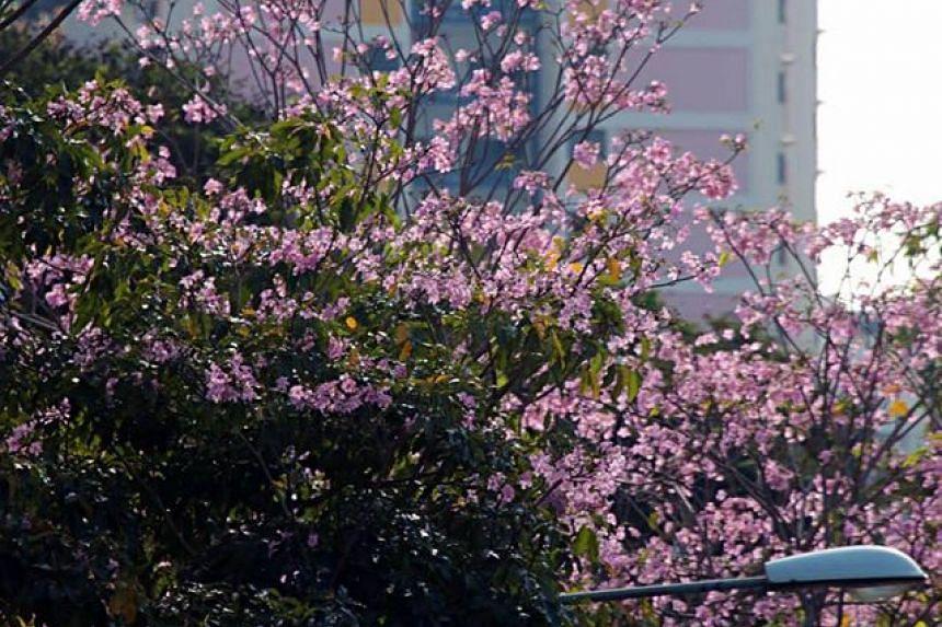 Flowers seen along CTE near Cambridge Road in Singapore.