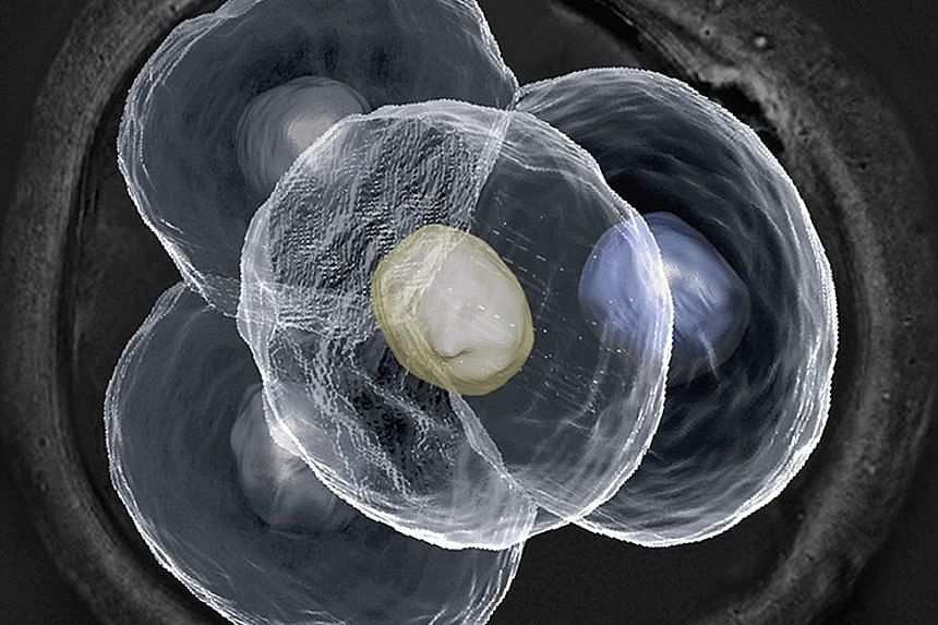 A living eight-cell embryo, as seen through a standard light microscope, does not appear as clear and defined. A living four-cell mouse embryo as seen with the help of the new laser scanning technique developed by a research team in Singapore. This m