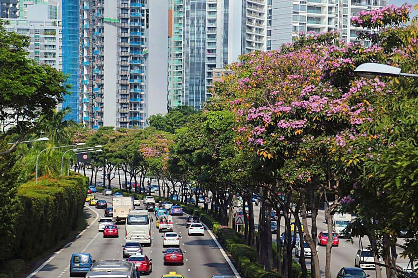 Trumpet Tree (Tabebuia rosea) at Central Expressway near Cambridge Road and the Moulmein Road exit.