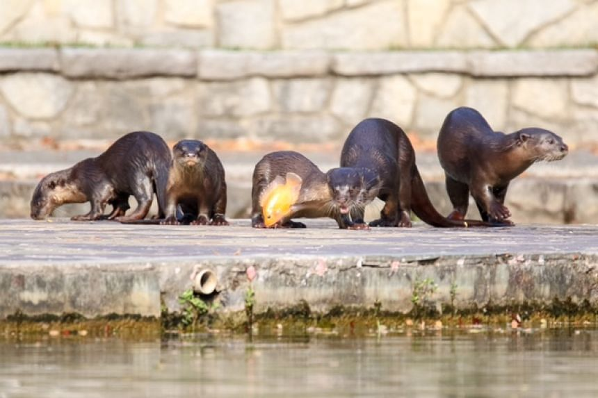 Bishan's otter family has been voted by ST readers as the 51st object that represents Singapore.