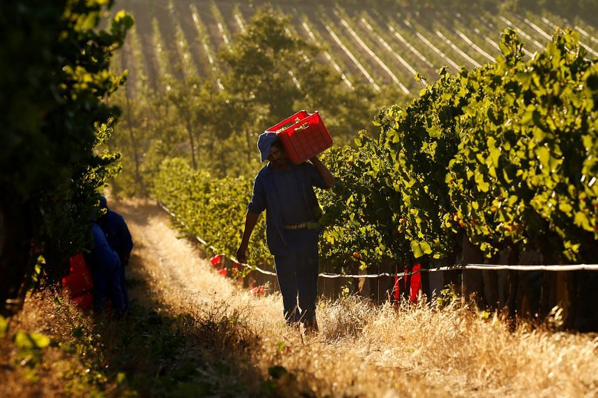 Workers harvesting grapes at the La Motte wine farm in Franschhoek near Cape Town, South Africa.