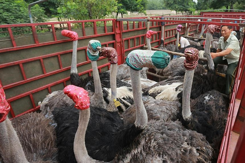 No sand for them to stick their heads into, so ostriches have their heads masked in scarves instead as they are transported to their new home in Zhengzhou, China's Henan province.