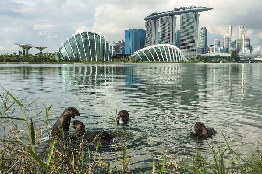Bishan's otter family at Gardens by the Bay East, with the Marina Bay area in the background.