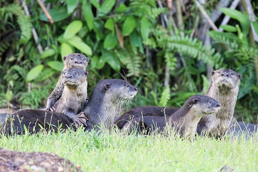 Singapore's Bishan 10 otter family in Bishan-Ang Mo Kio Park. The otter population in Singapore is estimated to be about 50.