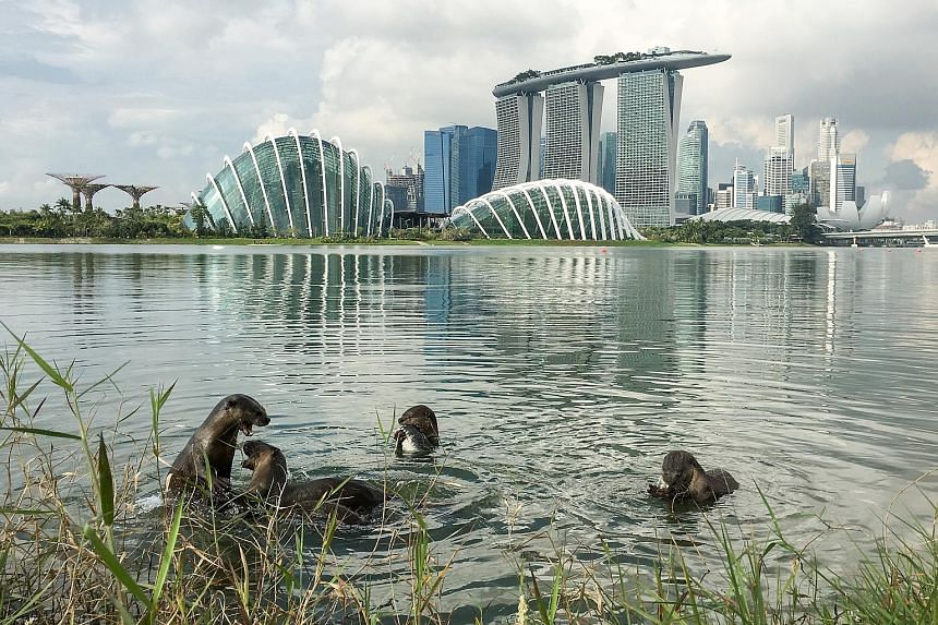 The otters have been seen frolicking at Gardens by the Bay East (above) and Bishan-Ang Mo Kio Park (left and below).