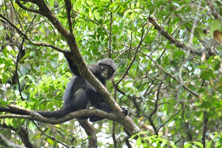 Fewer than 60 Raffles' Banded Langurs are left in Singapore, while the species is threatened by habitat loss and conversion in Malaysia.