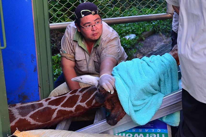 Zoo staff caring for a giraffe at the zoo in Taipei on Aug 10, 2016.