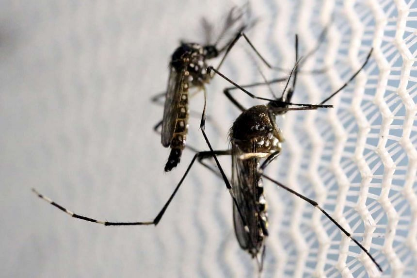 Aedes aegypti mosquitoes in a laboratory on Feb 2, 2016.