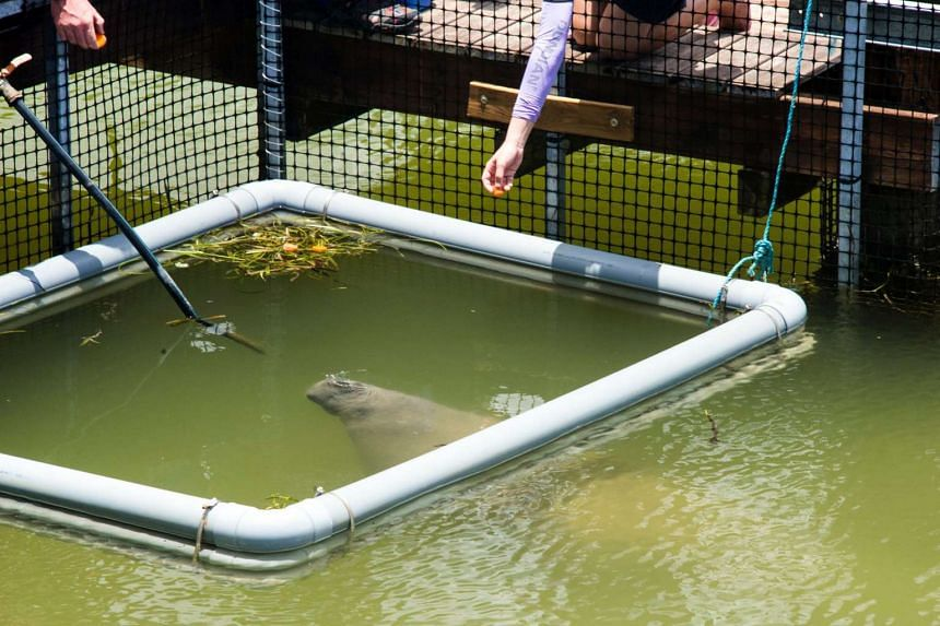 Kai and Junior, manatees born and bred at the Singapore Zoo, were released into Grand Cul-de-Sac Marin, a 15,000-hectare protected bay.