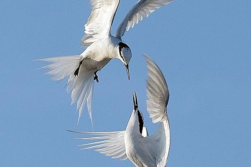 A rare shot of fighting black naped terns. NPSS president Fong Chee Wai says photographers must be patient to get shots like this.