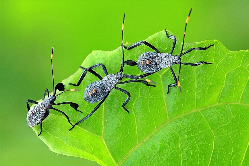 A trio of leaf-footed bug nymphs staying close together to look bigger to potential predators.
