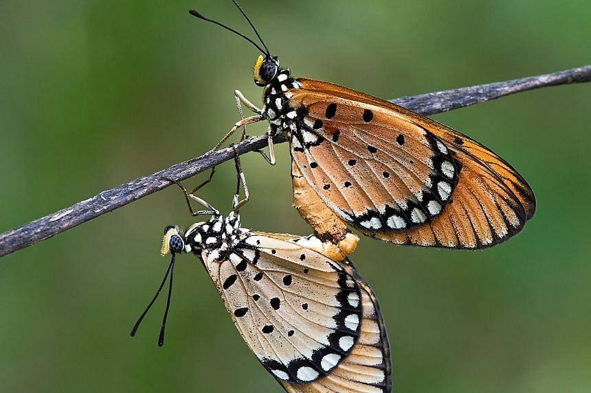 Tawny costers mating - the male is a bright orange while the female is pale yellow.
