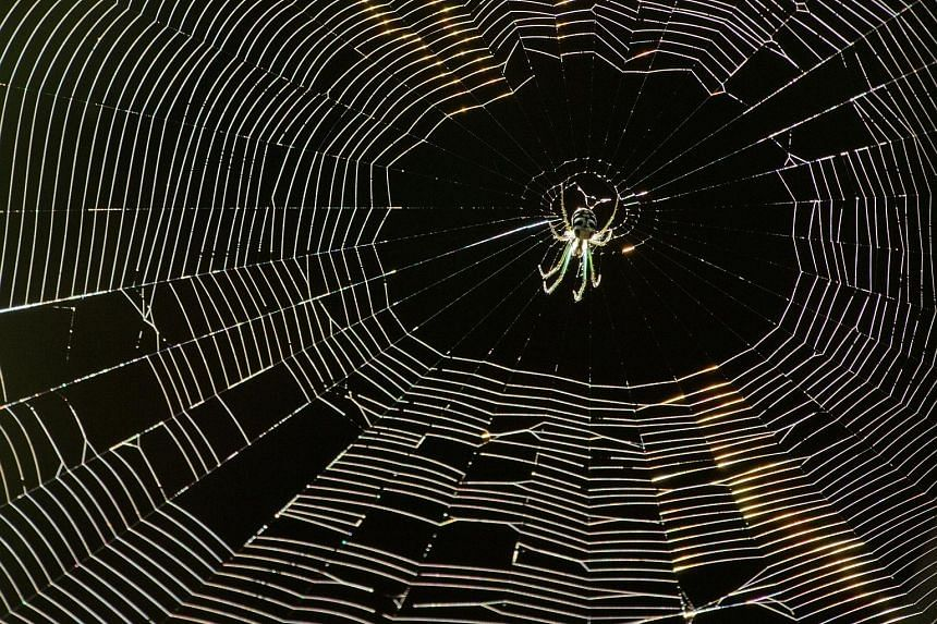 A garden kidney spider waiting in its web for prey.