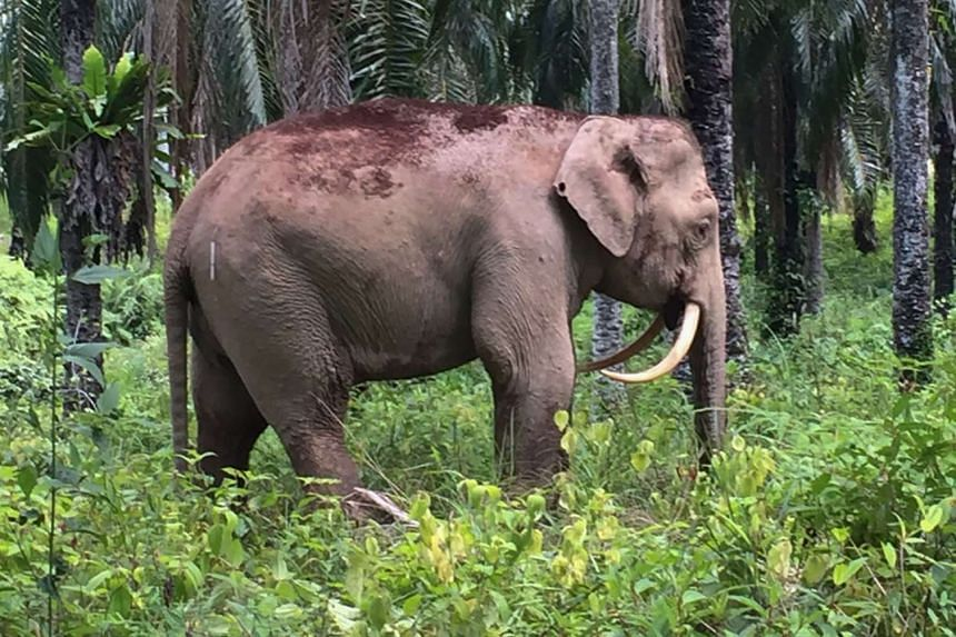 The elephant with reversed tusks at a palm oil planation in Sabah on Aug 11, 2016.
