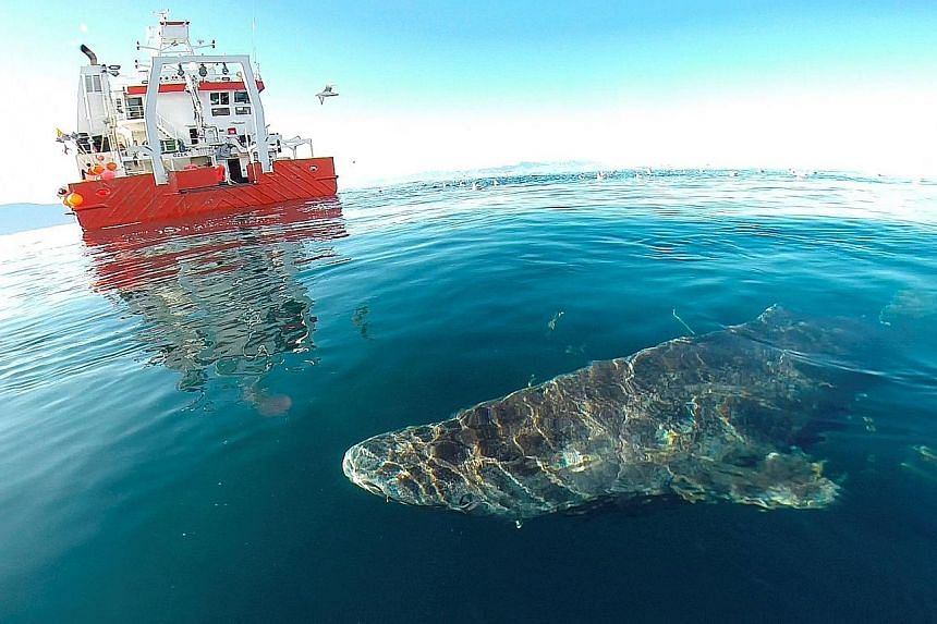 A Greenland shark after its release from research vessel Sanna in northern Greenland. Researchers used radiocarbon dating to determine the ages of the sharks in their study.