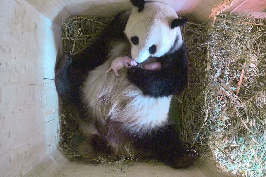 A video grab showing panda mother Yang Yang holding her twins.